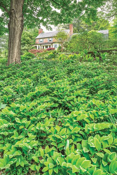 A sea of late-spring Solomon's Seal.