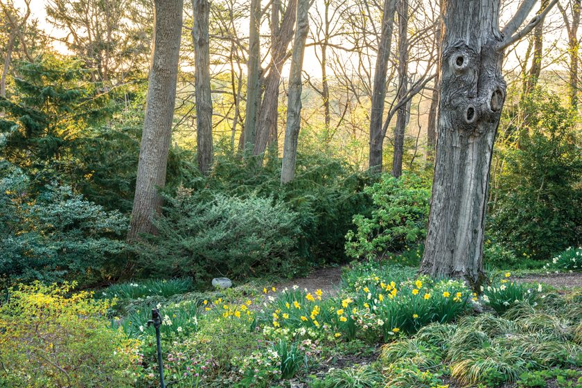 A woodland sprinkled with early-spring daffodils.