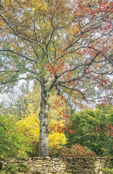 An oak in autumn reds.