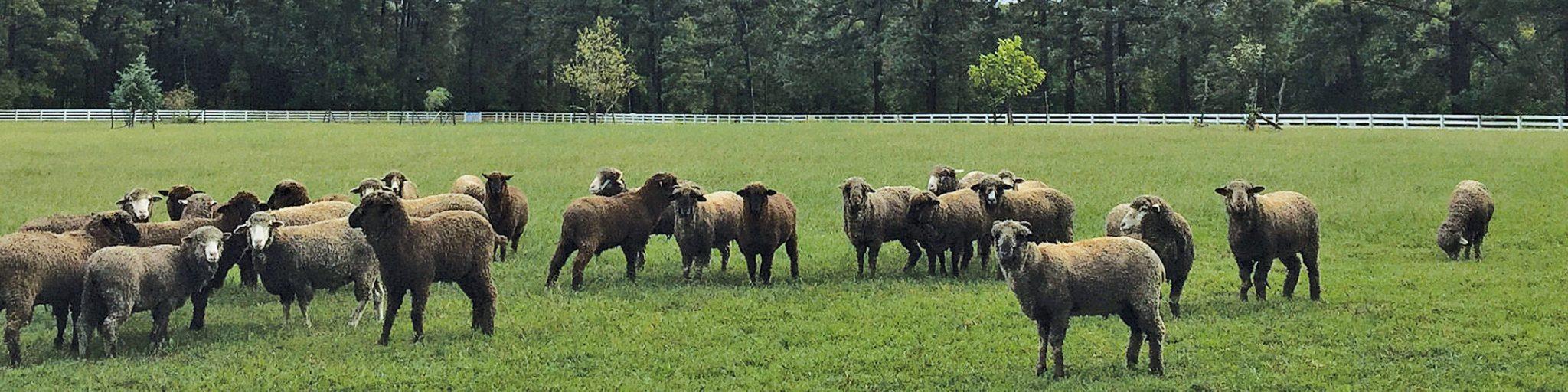 Sheep graze on Nordt's 400-acre farm.