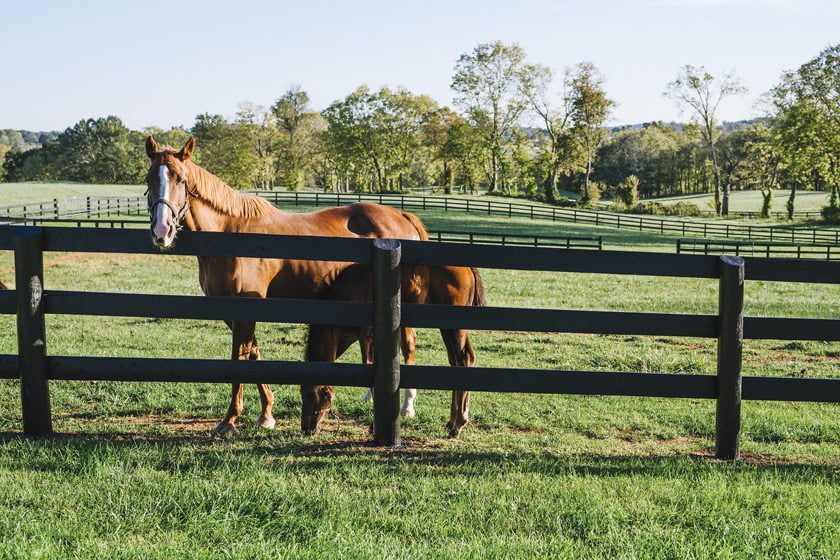 Mares and colts frolic in a paddock on the 500-acre farm.