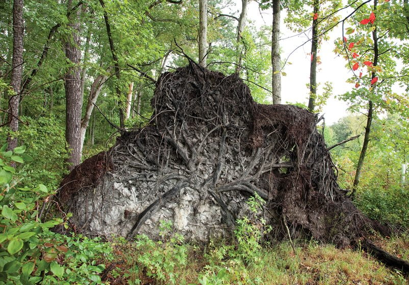 Another series documents the root balls of fallen trees.