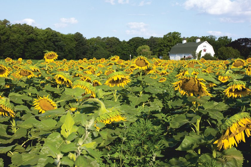 The Inn at Hungtingfield Creek boasts a sea of sunflowers on its property.
