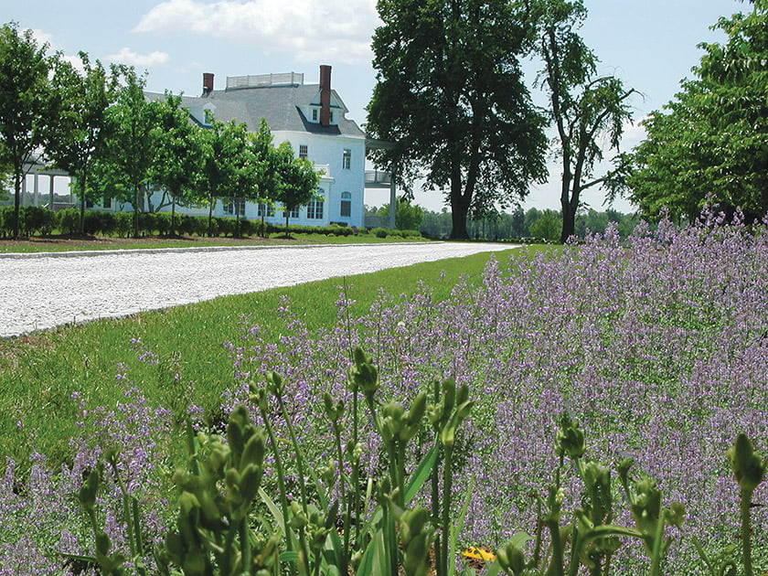 The flowering meadow spreads out from the drive, which passes beneath an iconic loblolly pine.