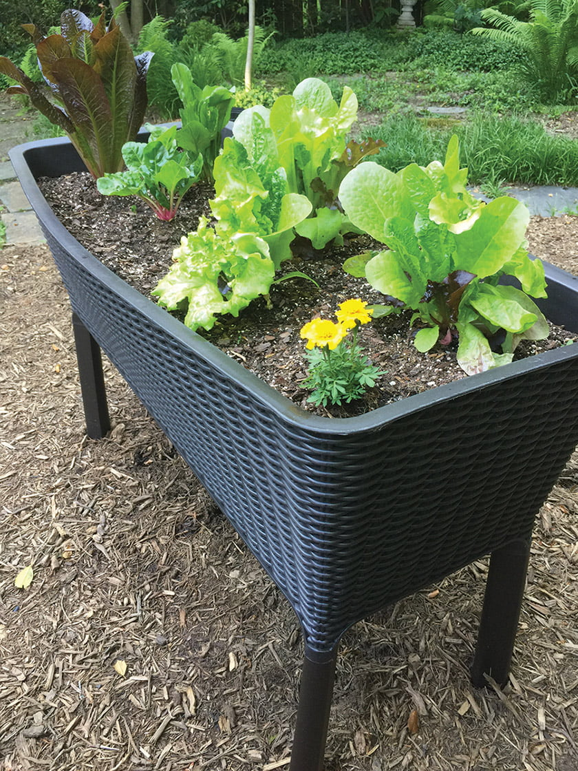 The author's raised planters are thriving with greens.