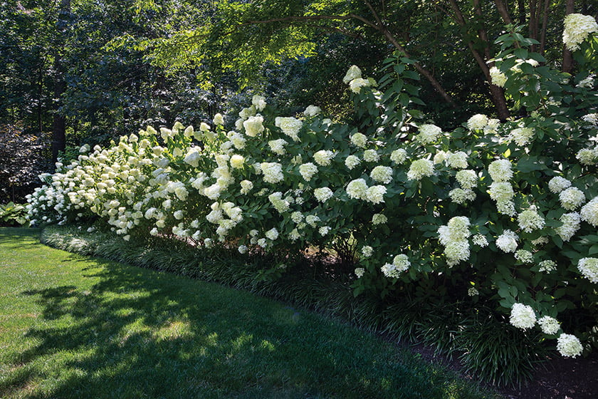 A bank of Limelight hydrangea enlivens the landscape.